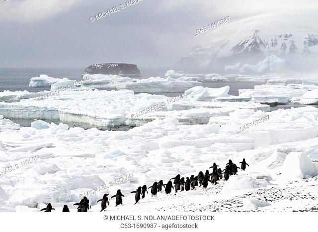 Adélie penguins Pygoscelis adeliae at breeding colony at Brown Bluff on the eastern side of the Antarctic Peninsula, Antarctica