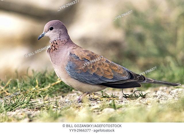 Laughing dove (Spilopelia senegalensis) - Onkolo Hide, Onguma Game Reserve, Namibia, Africa