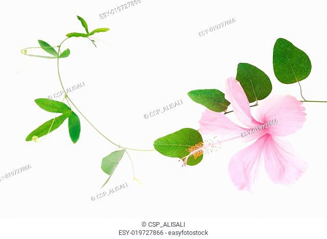 Green passionflower plant and hibiscus close up is isolated on w
