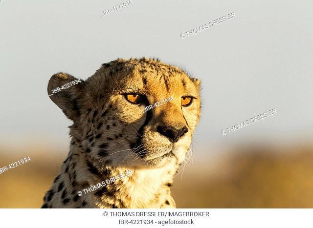 Cheetah (Acinonyx jubatus), male, captive, Namibia