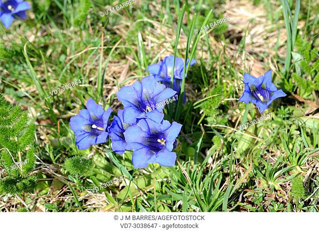 Stemless gentian (Gentiana acaulis) is a perennial herb native to Europe mountains. This photo was taken in Valle de Aran, Lleida Pyrenees, Catalonia, Spain