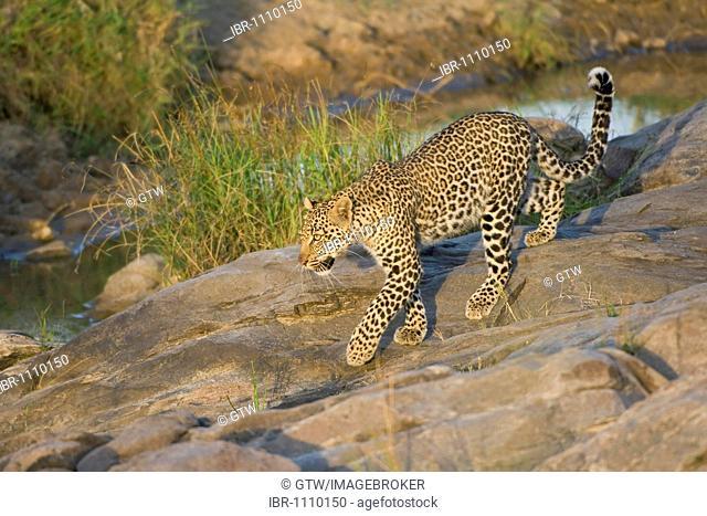 Leopard (Panthera pardus) in a riverbank, Masai Mara, Kenya, East Africa