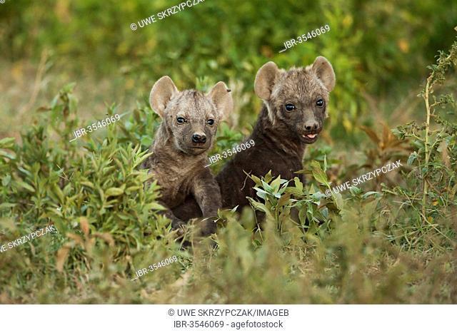 Spotted Hyena or Laughing Hyena (Crocuta crocuta) two cubs