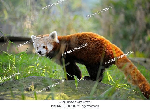Red Panda, Ailurus fulgens / Kleiner Panda, Ailurus fulgens