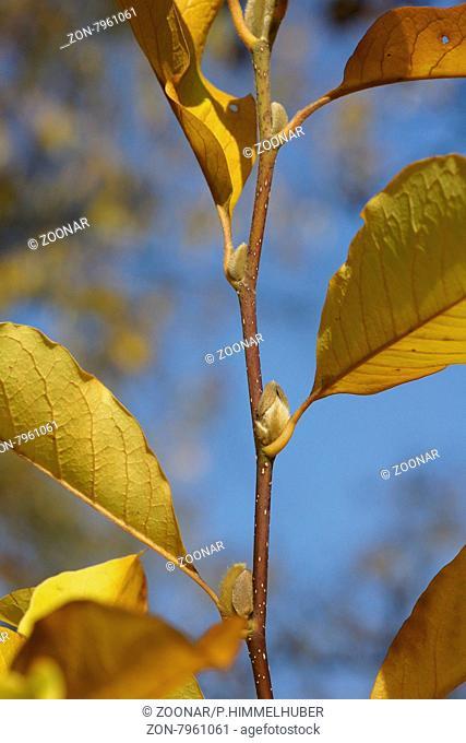 Magnolia x loebneri, Tulpenmagnolie, Herbstlaub und Blütenknospen