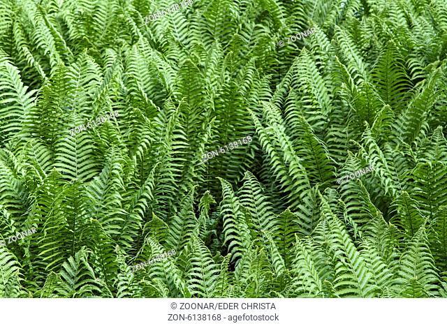 fern bushes
