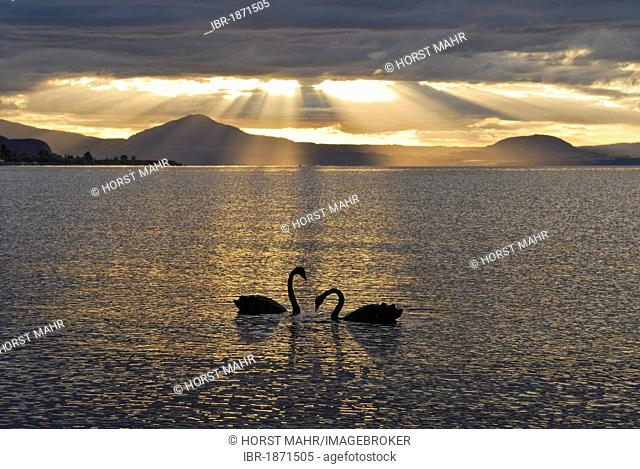 Black swans in the evening, Lake Taupo, North Island, New Zealand