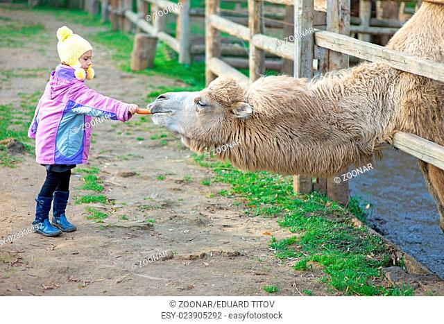 little girl feeding two-humped camel
