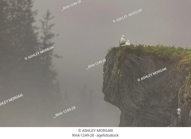 Glacous-winged gulls (Larus glaucescens) perched on a cliff in the mist, Valdez, Alaska, United States of America, North America