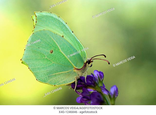 Brimstone butterfly Gonepteryx rhamni on Alfalfa flower  Medicago sativa