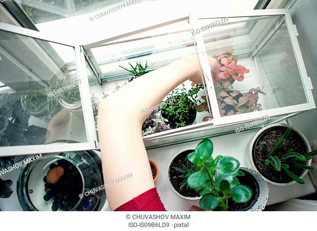 Arm of young woman removing potted plant from windowsill terrarium