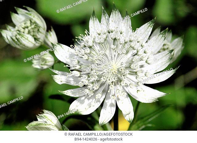 Flowers of Astrantia sp. (fam. Apiaceae), Osseja, Pyrenees-Orientales, Languedoc-Roussillon, France