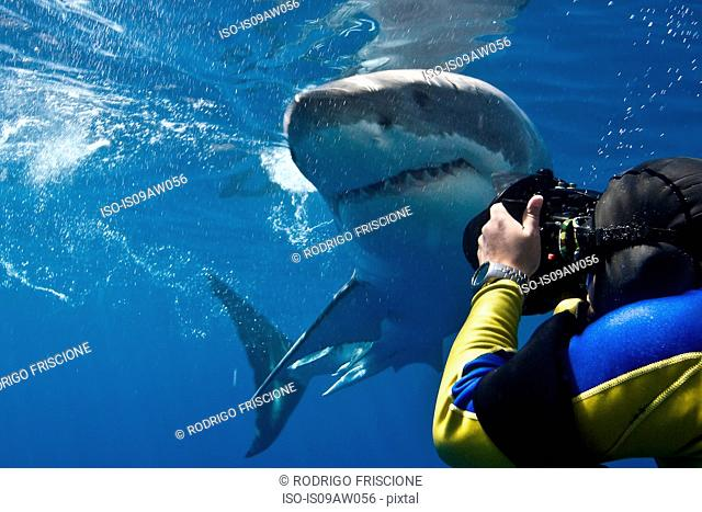 Great white shark (Carcharodon carcharias) making a close pass while photographer leans to take a picture, Guadalupe Island, Mexico