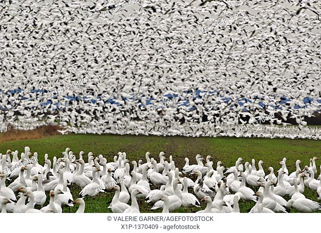 This is a flock of wild snow geese on Fir Island in Skagit County, Washington a known migrating place  This flock is literally thousands