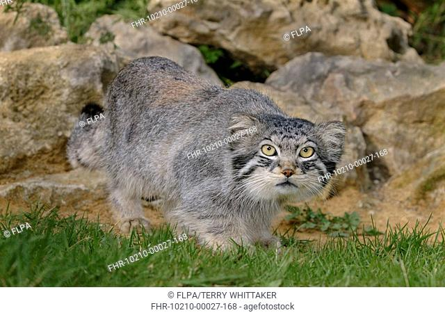 Pallas's Cat Felis manul adult standing, summer coat