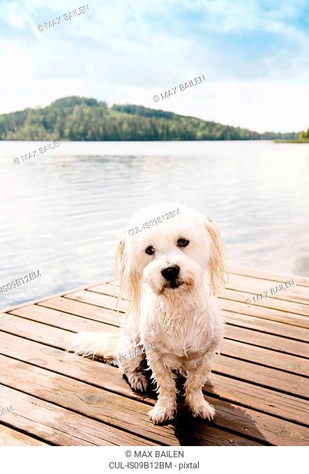 Portrait of cute coton de tulear dog sitting on pier, Orivesi, Finland
