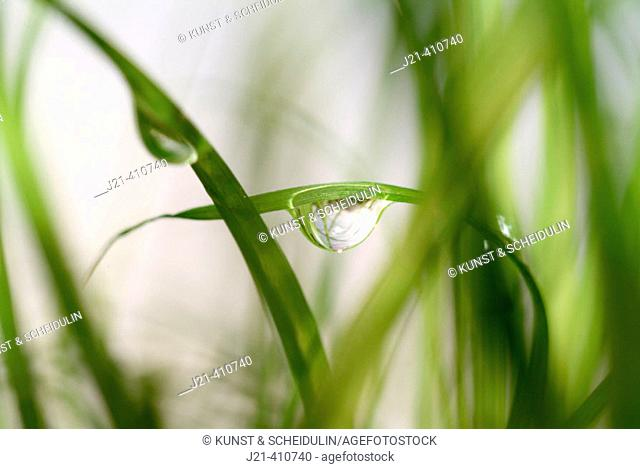 Dew drops on grass (Cyperus zumula)