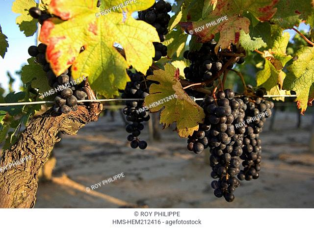 France, Gironde, Lansac, Merlot vigne grape