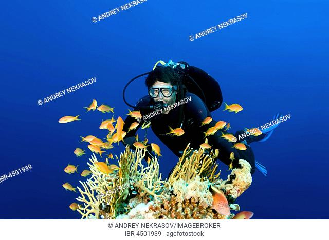 scuba diver swimming near coral reef and looks at a shoal of fish sea goldie (Pseudanthias squamipinnis), Red Sea, Egypt