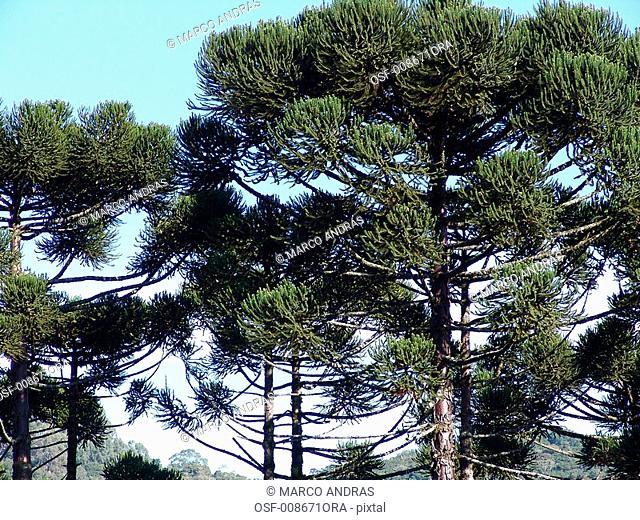 natural pine tree leaf leaves
