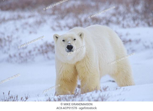 Polar bear on tundra, Churchill, Manitoba, Canada