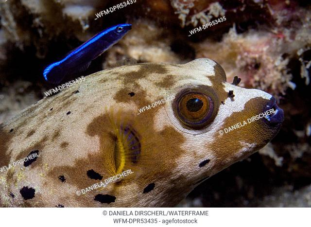 Blackspotted Puffer and Cleaner Wrasse, Arothron nigropunctatus, Ambon, Moluccas, Indonesia