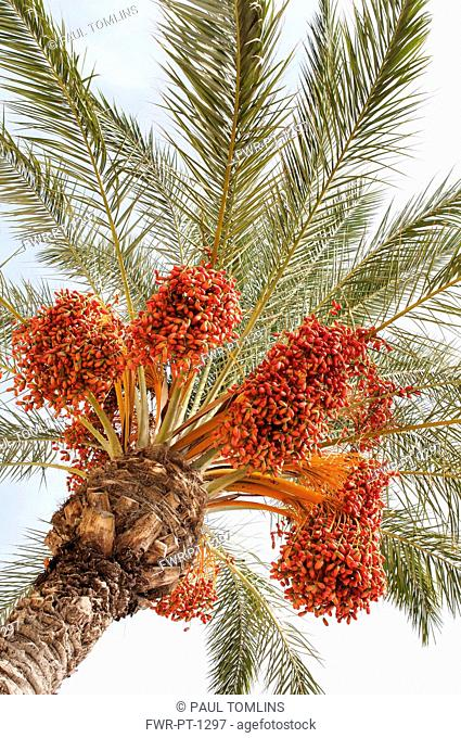 Palm, Canary Island date palm, Phoenix canariensis, Several leaf fronds and large bunches of red colour dates against pale blue sky