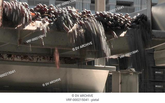 Red grapes tumble off the end of a conveyor belt at a modern winery in Talca, Chile