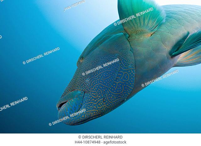 Napoleon Lippfisch, Cheilinus undulatus, Fishhead, Nord Ari Atoll, Malediven, Napoleon Humpback Wrasse, Cheilinus undulatus, Fishhead, North Ari Atoll, Maldives