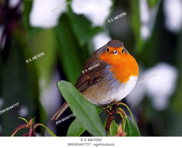 European robin (Erithacus rubecula), sitting on a snow-covered branch, Germany, Saxony
