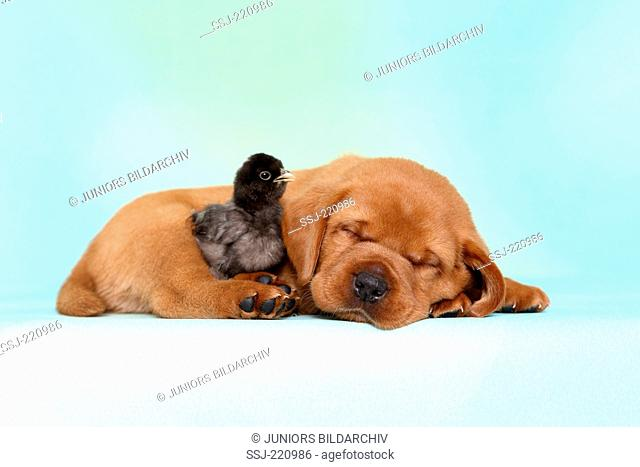 Labrador Retriever. Puppy (5 weeks old) with a chicken, sleeping. Germany. Studio picture seen against a turquoise background