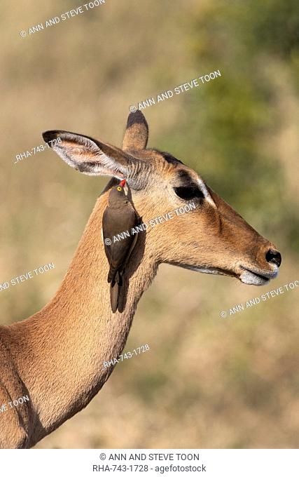 Red billed oxpecker, Buphagus erythrorhynchus, on impala, Aepyceros melampus, iMfolozi game reserve, South Africa