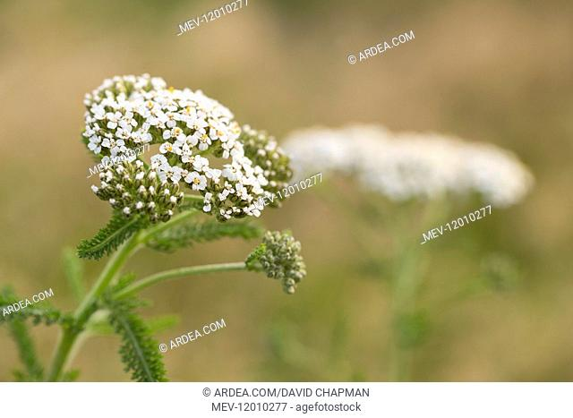 Yarrow - Flowering - Isles of Scilly - UK