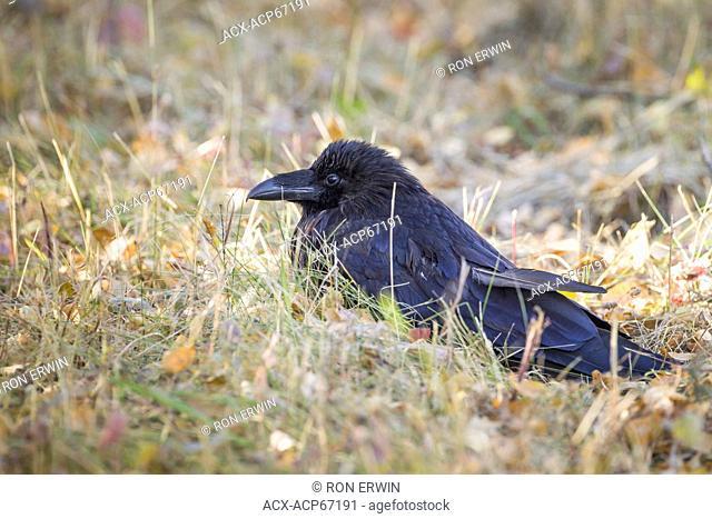 Common Raven (Corvus corax) in Riding Mountain National Park, Manitoba Canada