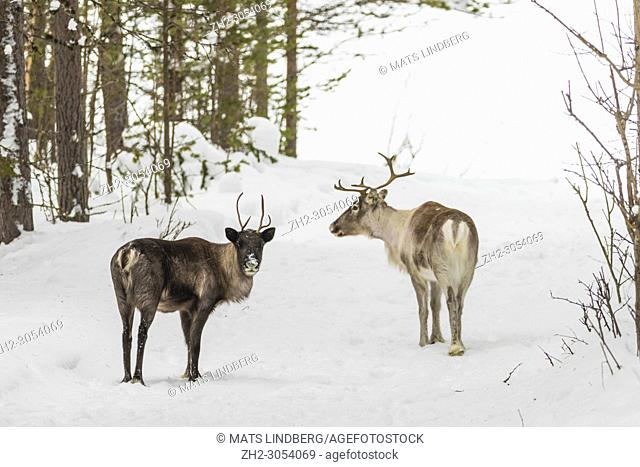 Two Reindeers, Rangifer tarandus, standing in forest in winter season looking in to the camera, Gällivare county, Swedish Lapland, Sweden