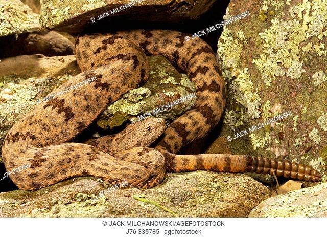 Mottled Rock Rattlesnake (Crotalus lepidus lepidus), red phase
