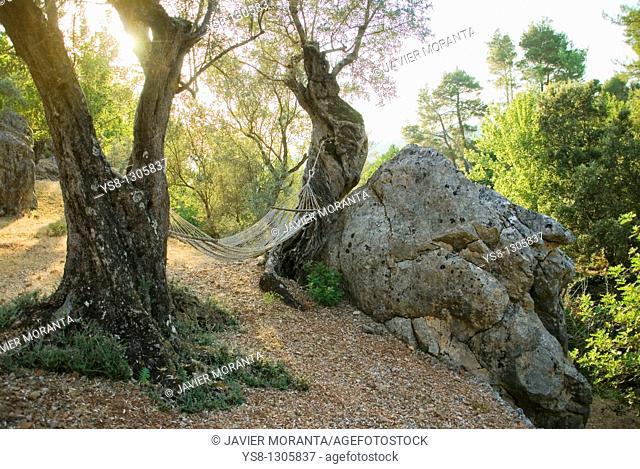 Spain, Balearic Islands, Mallorca, Fornalutx, oak forest
