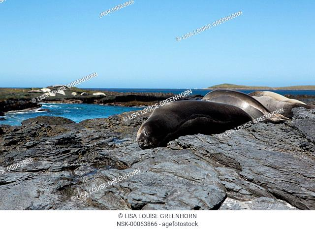 Elephant Seal (Mirounga leonina) group of youngsters resting on rocks, Falkland Islands, Sea Lion Island