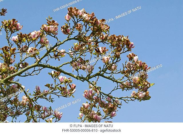 Magnolia Magnolia sp frost damage to flowers, Dorchester, Dorset, England, april