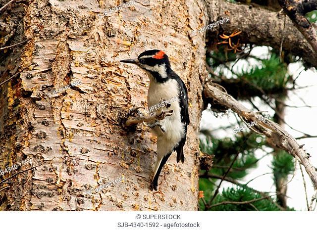 Hairy Woodpecker in a Pine Tree