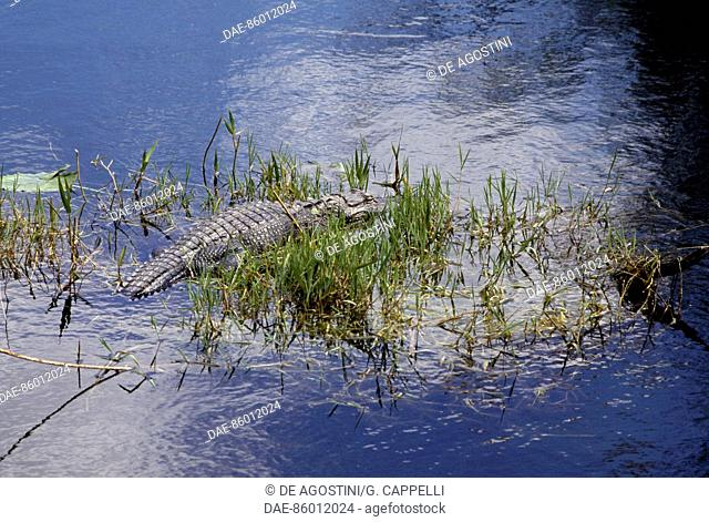 American Alligator (Alligator mississipiensis), Everglades National Park (UNESCO World Heritage List, 1979), Florida, United States of America