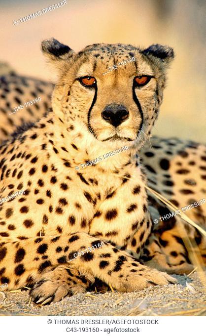 Cheetah (Acinonyx jubatus). Ameib Ranch. Namibia