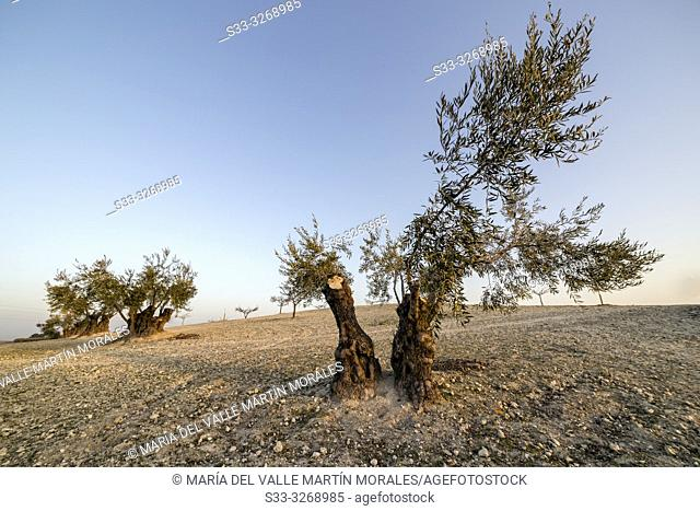 Olive trees in the country of Pinto early in a winter morning. Madrid. Spain. Europe