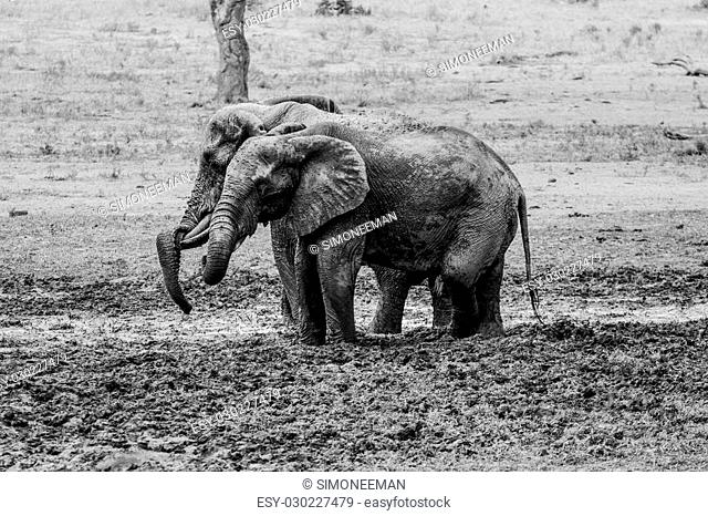 Elephant taking a mud bath in black and white, South Africa