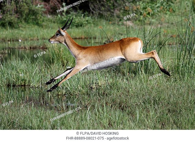 Running male Red Lechwe Okavango Delta near Kwara Lechwe are found in marshy areas where they eat aquatic plants They use the knee-deep water as pro