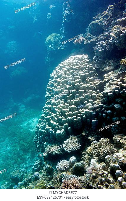 coral reef with great porites coral at the bottom of tropical sea
