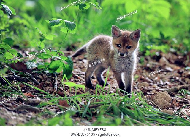 red fox (Vulpes vulpes), fox kit in the forest, Germany, Baden-Wuerttemberg