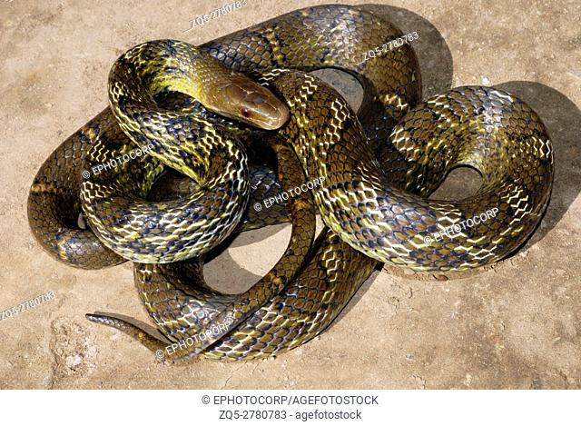 Eastern Trinket Snake, Elaphe helena, is a species of colubrid snake. A large sized non-venomous snake in N. E. India, Arunachal Pradesh