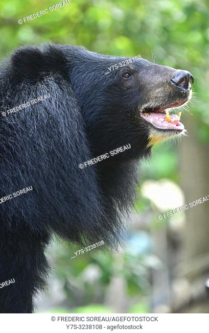 Moon Bear,Asiatic Black Bear,Phnom Tamao Wildlife Rescue Center,Takeo Province,Cambodia,South east Asia