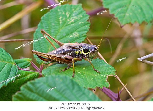 Male Roesel's Bush-cricket (Metrioptera roeselii) On bramble Lewisham,London October 2012